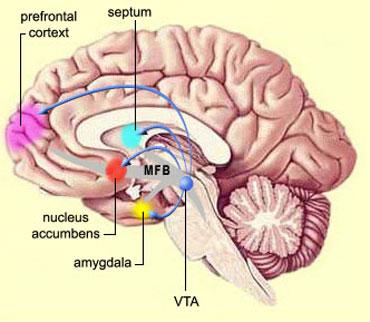 nucleus-accumbnes